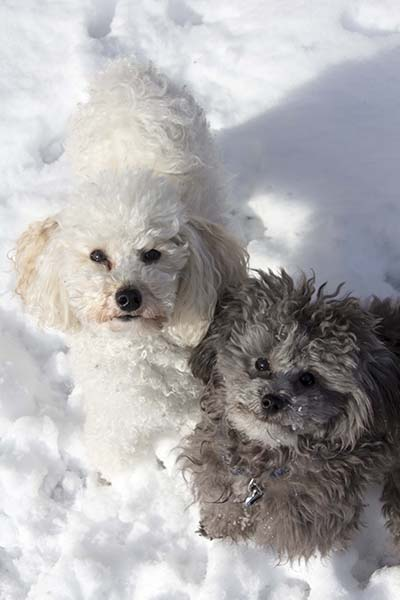 two toy poodles in snow